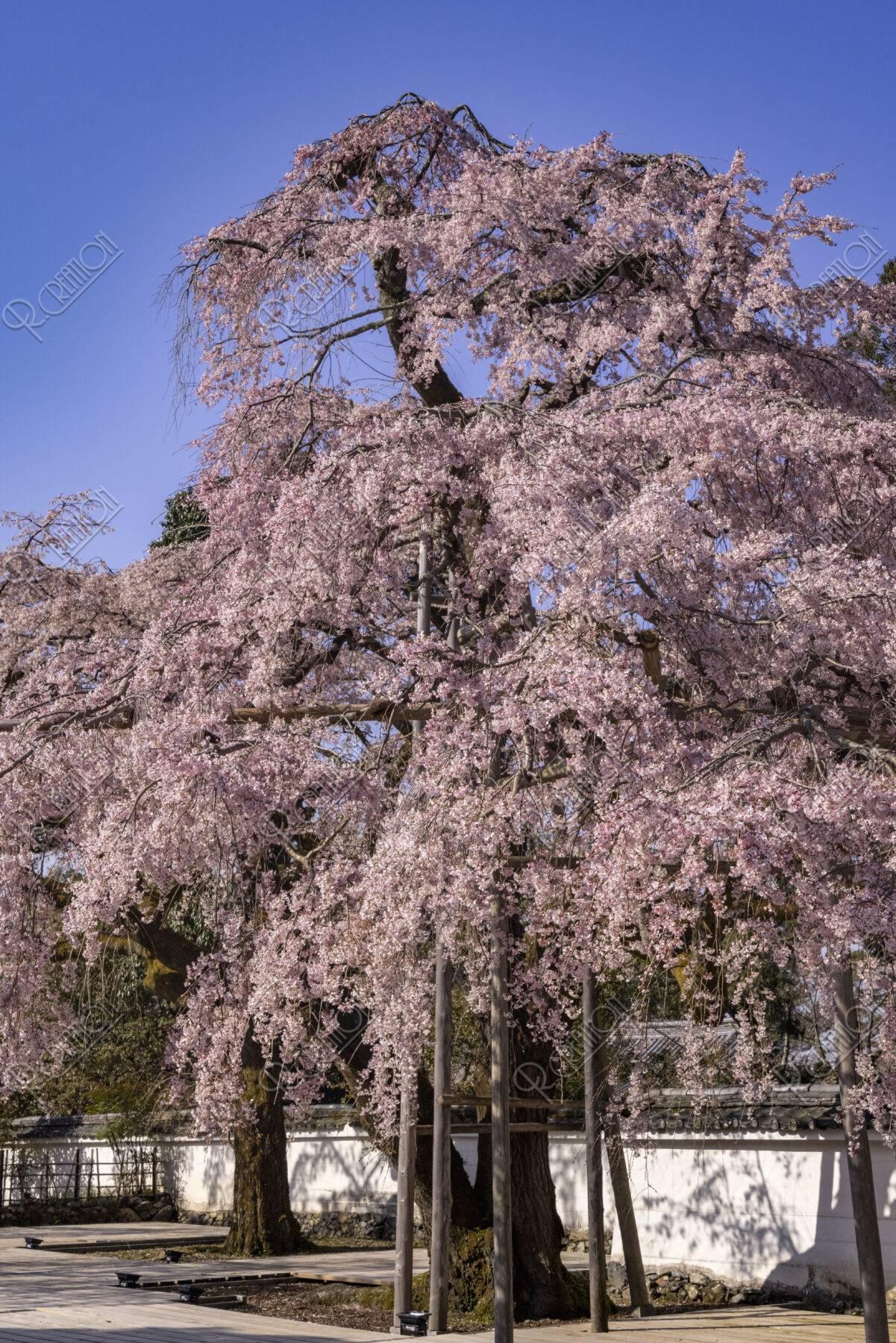 醍醐寺三宝院 桜