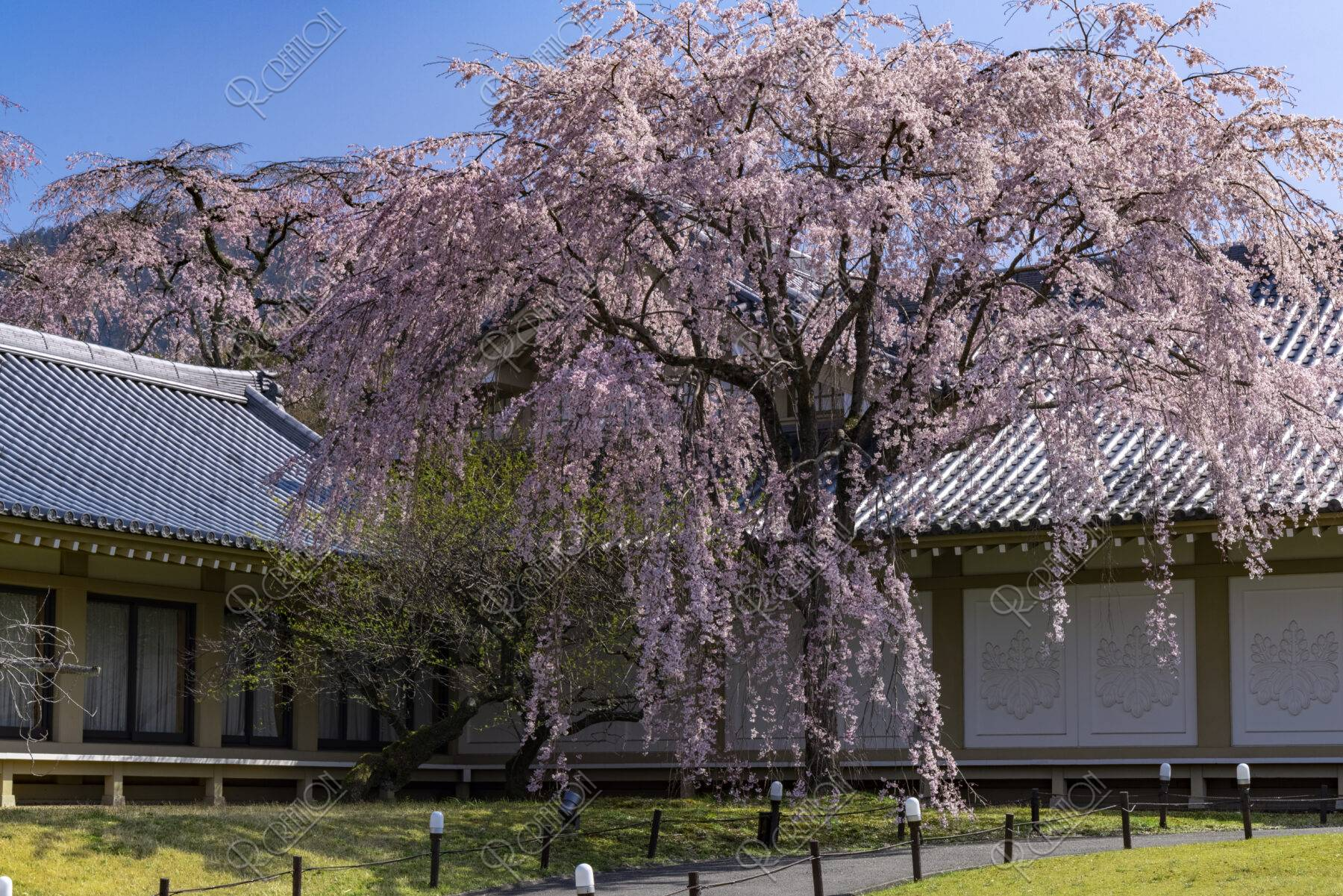 醍醐寺霊宝館 桜
