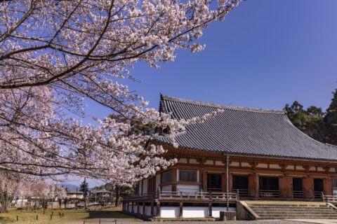醍醐寺金堂 桜