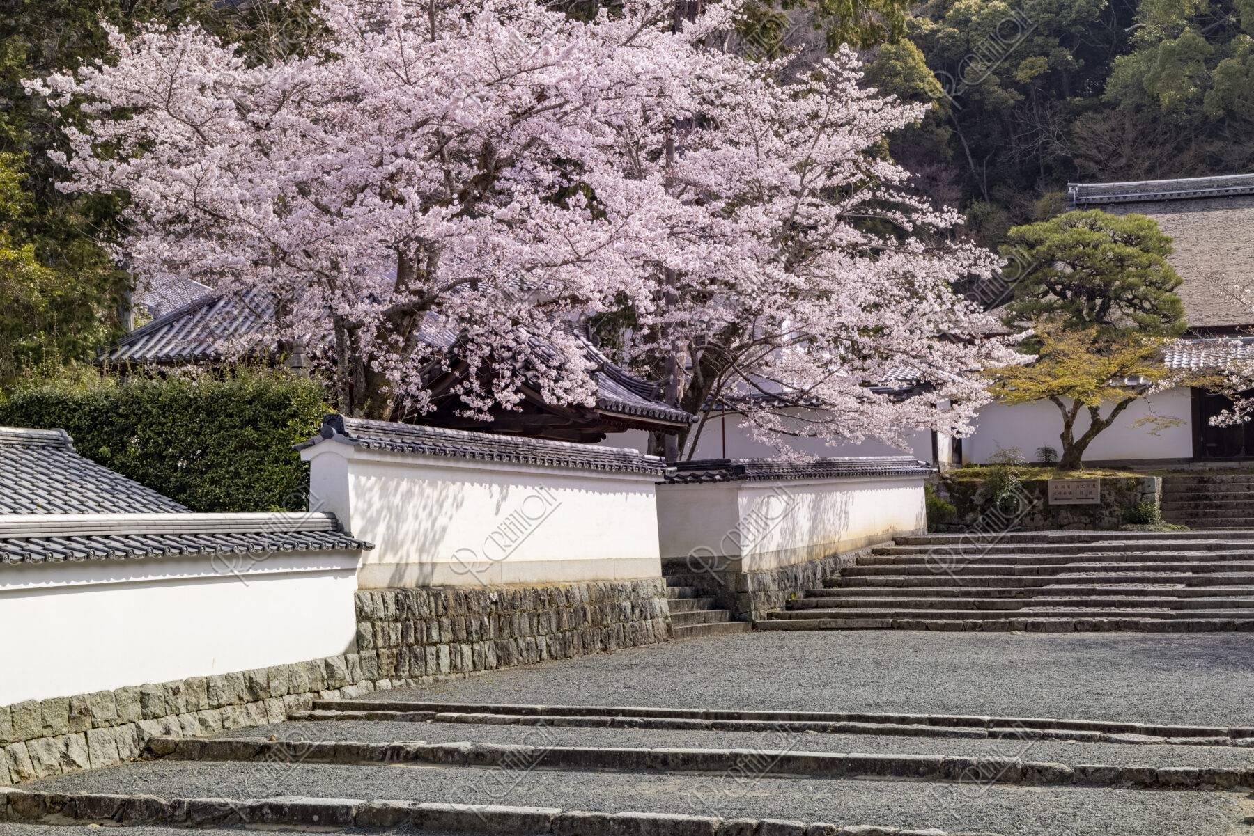 南禅寺 桜と土塀