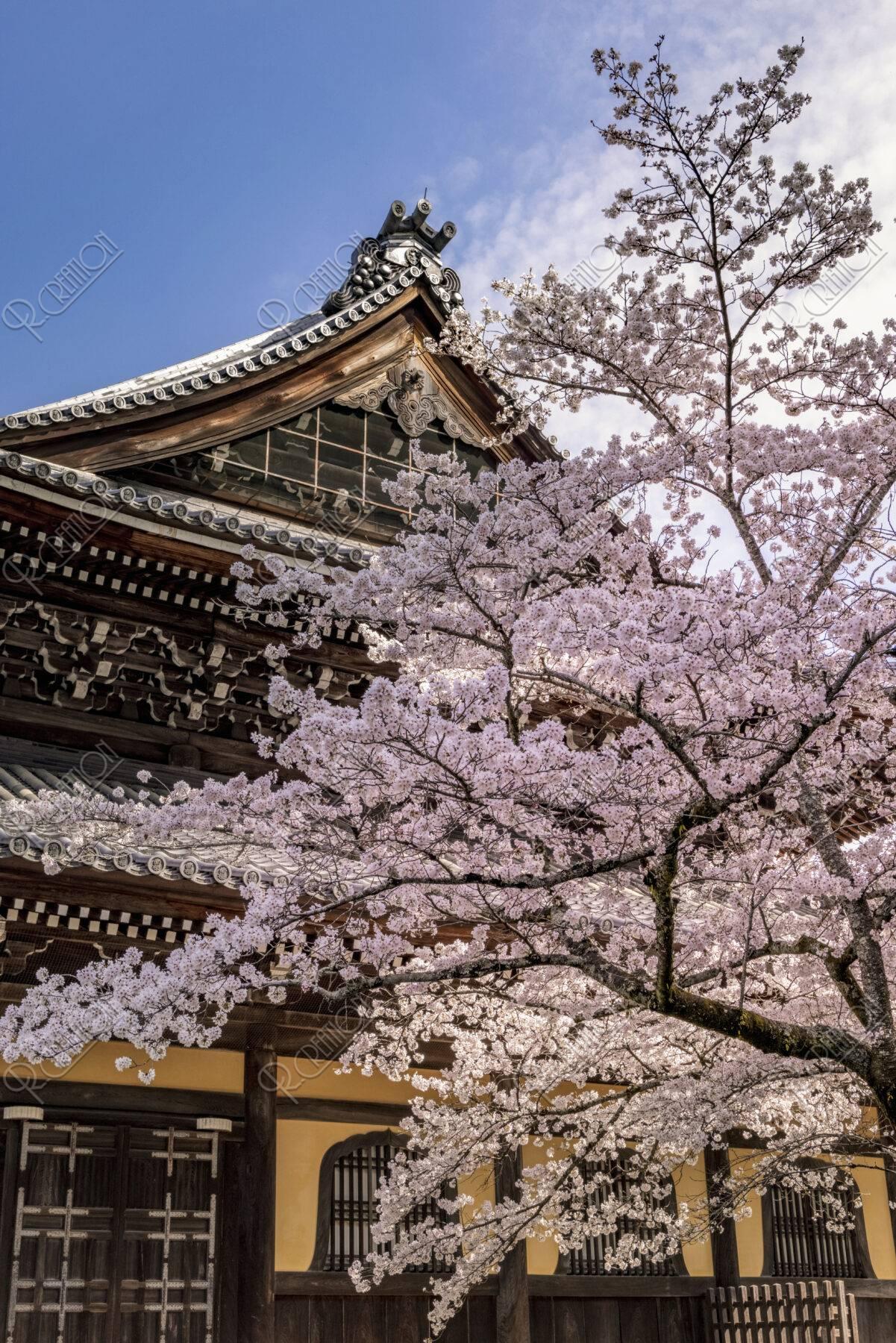 南禅寺 桜と法堂