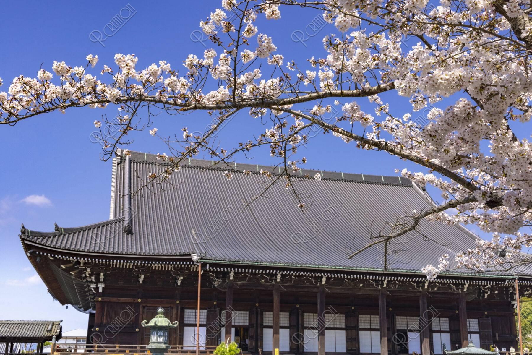 知恩院 御影堂と桜
