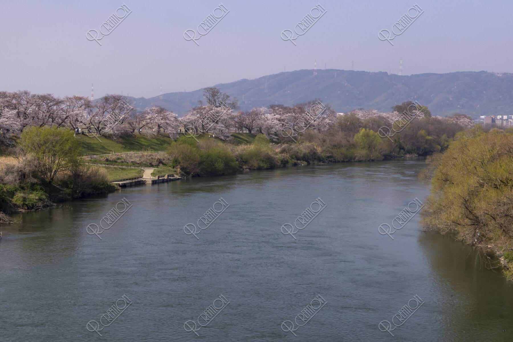 背割堤の桜並木
