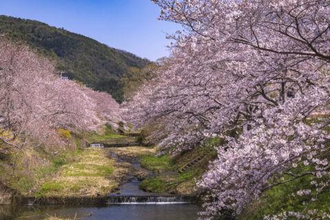 井手町 玉川の桜並木