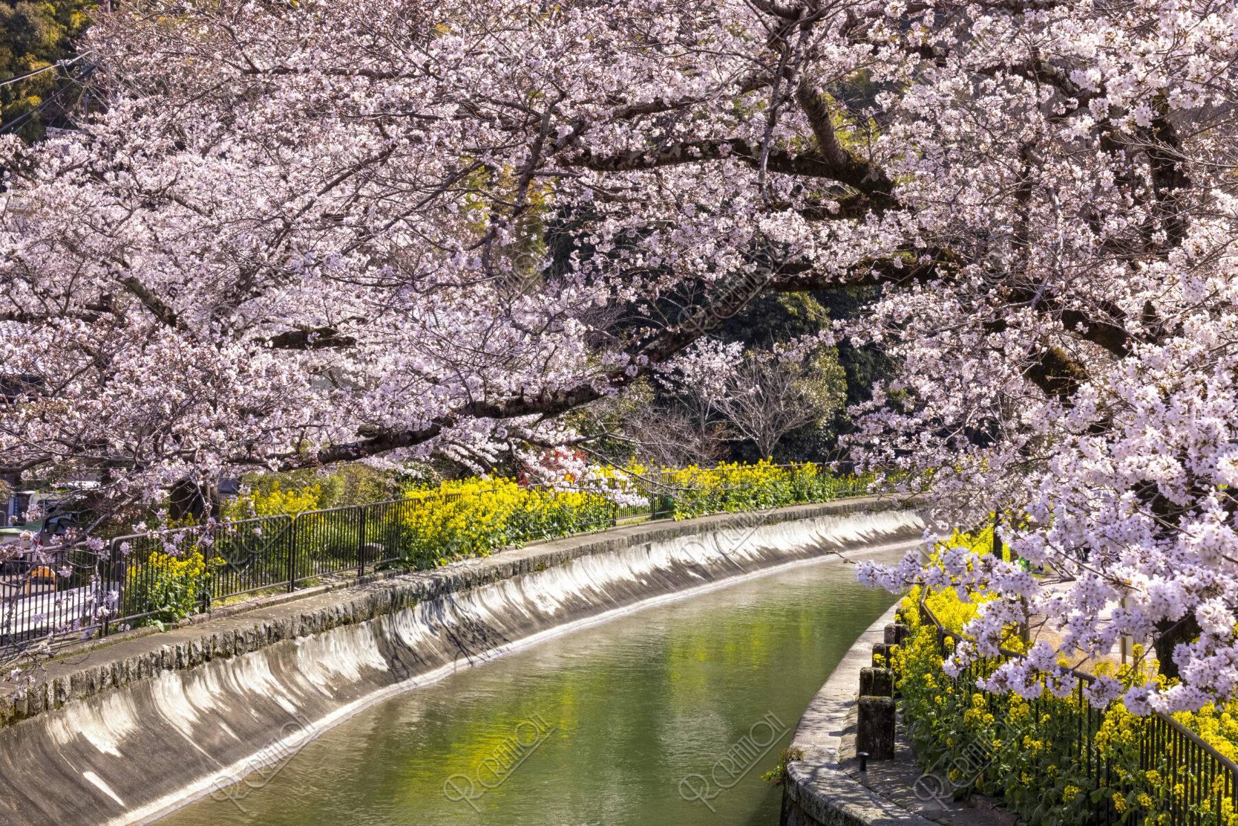 山科疏水 桜と菜の花