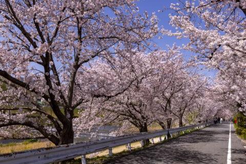 賀茂川左岸の桜並木
