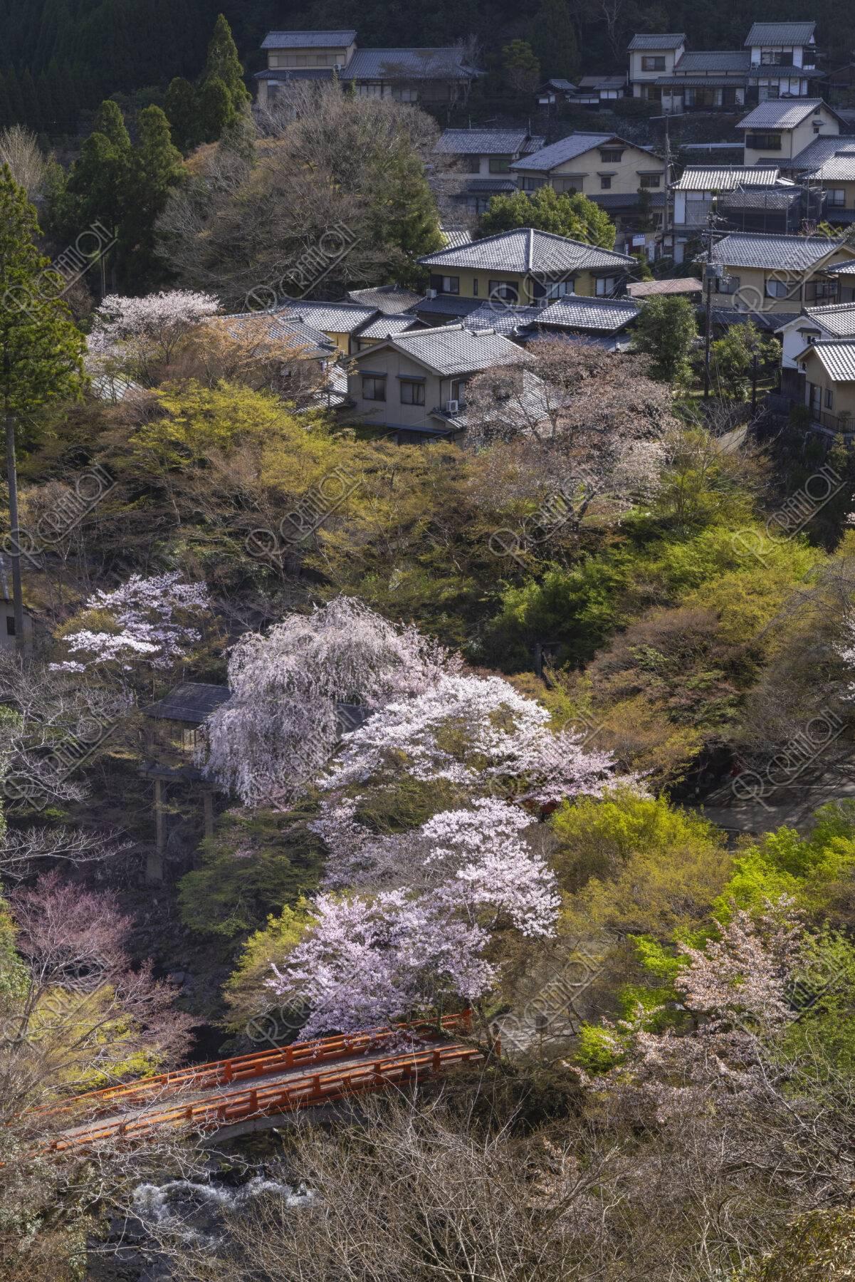 高雄の里と桜