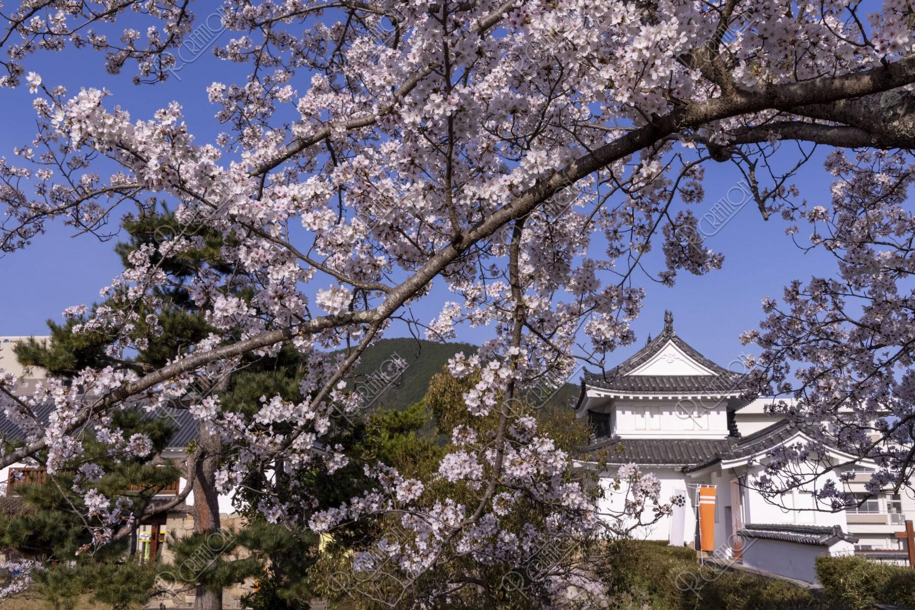 舞鶴田辺城跡の桜
