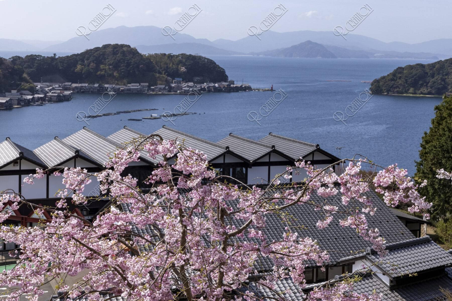 伊根港と桜
