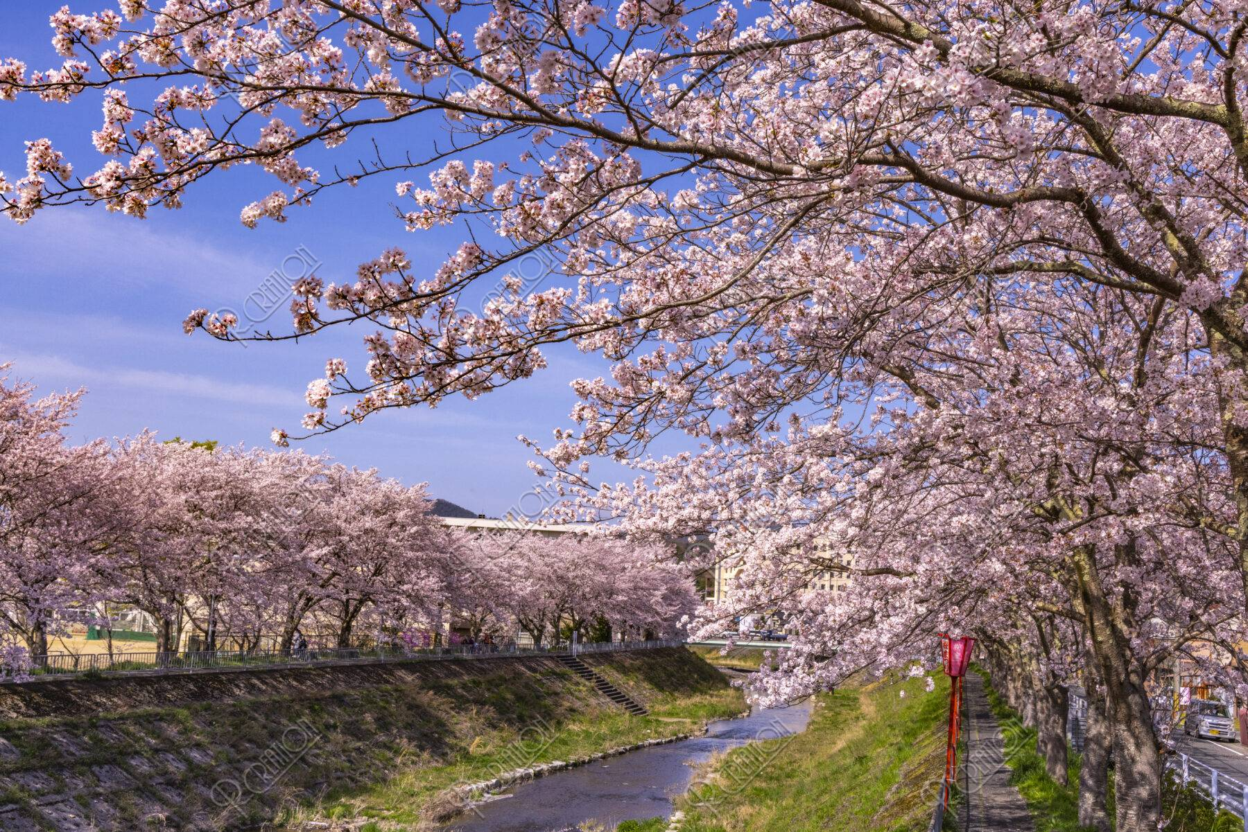舞鶴与保呂川沿いの桜並木