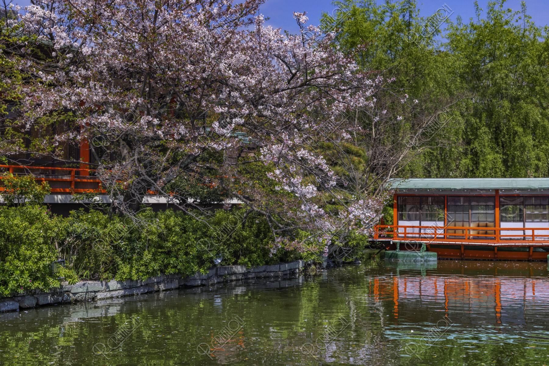 神泉苑 竜頭船と桜