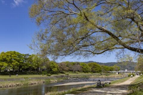 賀茂川と新緑