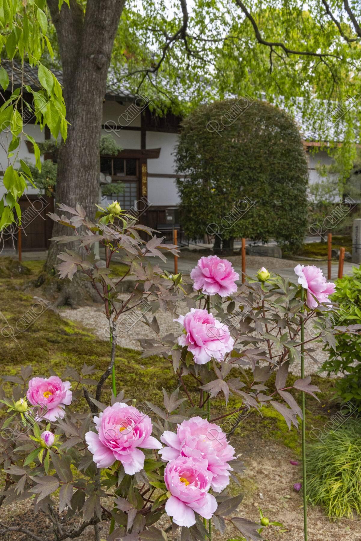 本満寺 牡丹