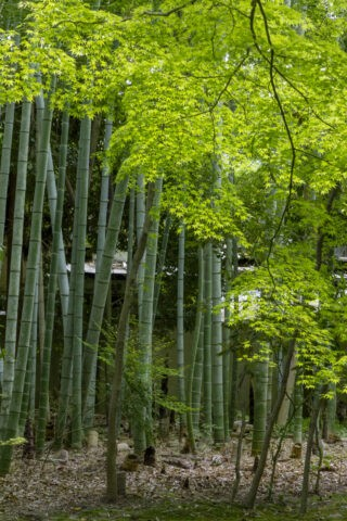 地蔵院 竹林
