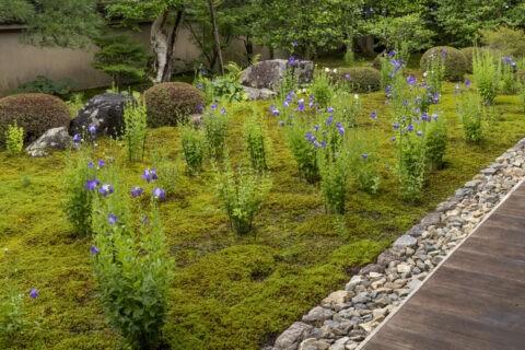 天得院 桔梗の庭