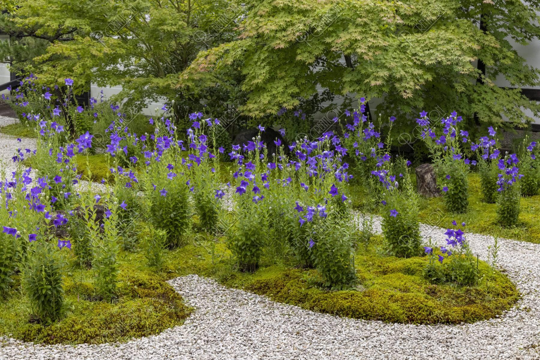 蘆山寺 キキョウ咲く庭