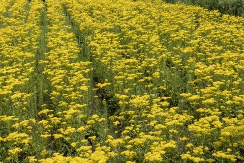 オミナエシ咲く山村の畑