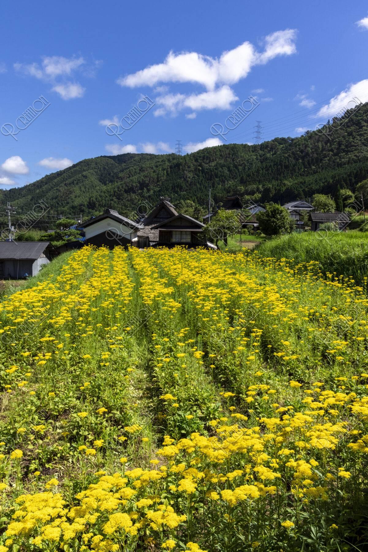 オミナエシ咲く山村