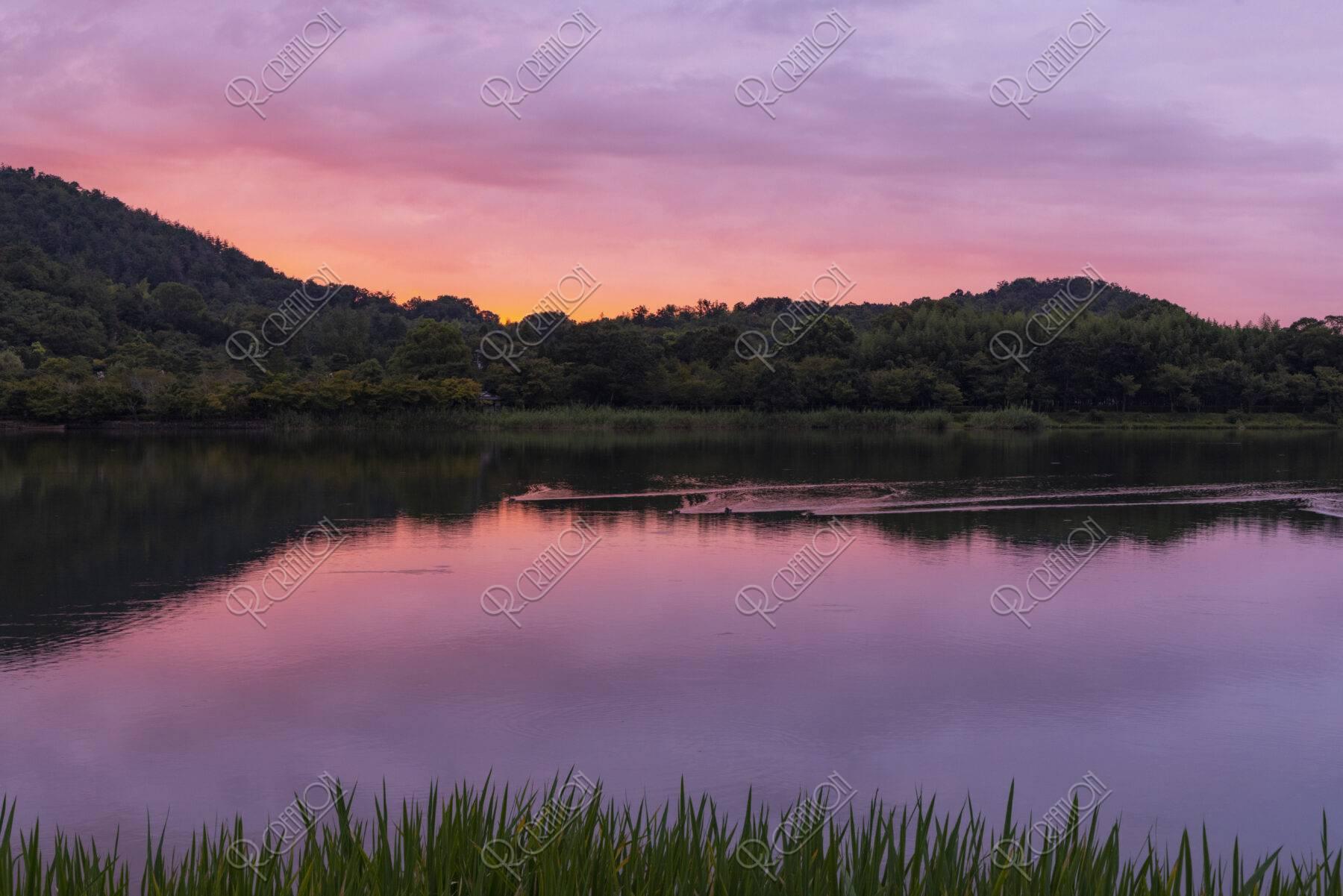 朝焼けの広沢池と水鳥