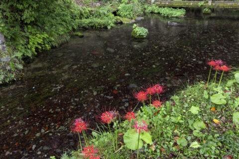 ヒガンバナ咲く醒井地蔵川